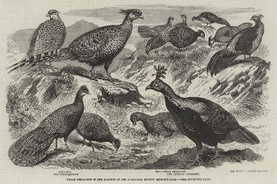 Indian Pheasants in the Gardens of the Zoological Society, Regent'S-Park--Giclee Print