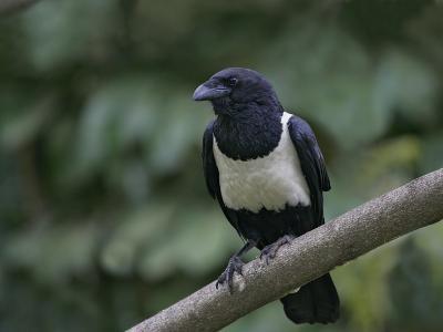 Indian Pied Crow, Corvus Albus, Kenya, Africa-Arthur Morris-Photographic Print