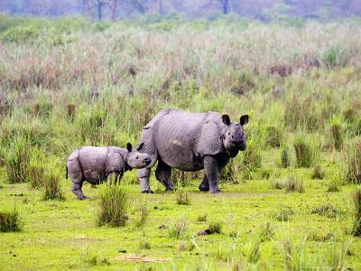 Indian Rhinoceros, Mother and Calf, Assam, India-David Courtenay-Photographic Print