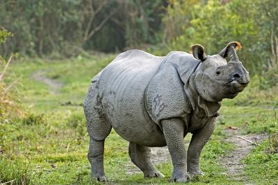 Indian Rhinoceros-Tony Camacho-Photographic Print