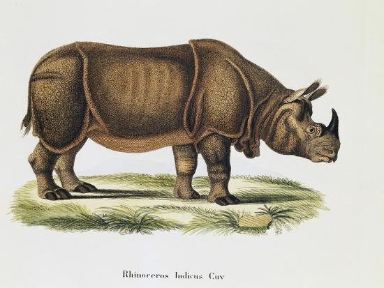 Indian Rhinoceroses (Rhinoceros Indicus)--Giclee Print