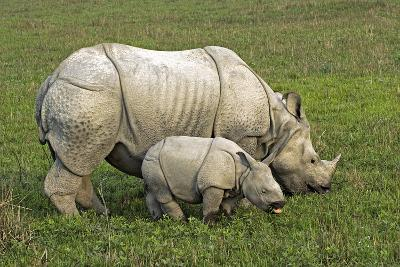 Indian Rhinoceroses-Tony Camacho-Photographic Print