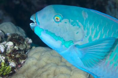 Indian Steephead Parrotfish (Scarus Strongycephalus), Beak Open Feeding, Queensland, Australia-Louise Murray-Photographic Print