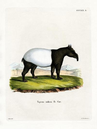Indian Tapir--Giclee Print