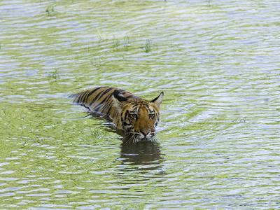 Indian Tiger, Bandhavgarh National Park, Madhya Pradesh State, India-Thorsten Milse-Photographic Print