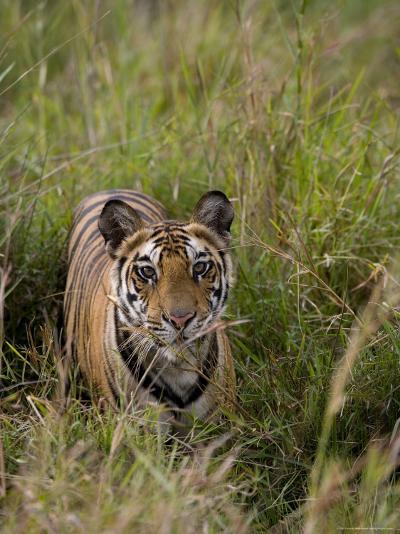 Indian Tiger, Bandhavgarh National Park, Madhya Pradesh State, India-Thorsten Milse-Photographic Print
