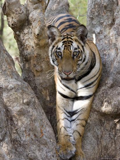 Indian Tiger (Bengal Tiger) (Panthera Tigris Tigris), Bandhavgarh National Park, India-Thorsten Milse-Photographic Print