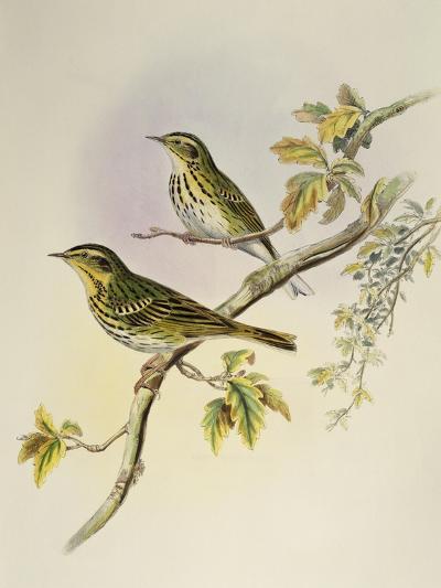 Indian Tree-Pipit (Pipastes Agilis)-John Gould-Giclee Print