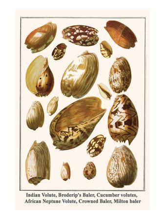 Indian Volute, Broderip's Baler, Cucumber Volutes, African Neptune Volute, Crowned Baler, etc.-Albertus Seba-Art Print
