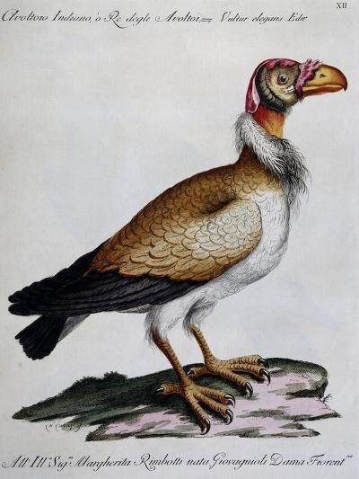 Indian Vulture or King of Vultures (Vultur Edw Elegans)--Giclee Print