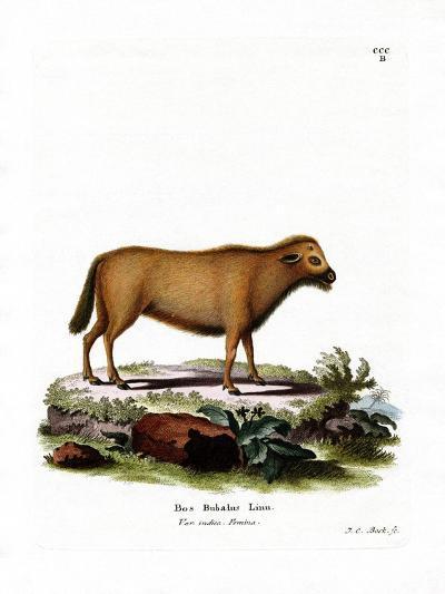 Indian Water Buffalo--Giclee Print