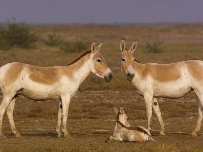 Indian Wild Ass (Equus Hemionus Khur) Parents with Calf, Rann of Kutch, Gujarat, India-Pete Oxford-Photographic Print