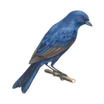 Indigo Bunting (Passerina Cyanea), Birds-Encyclopaedia Britannica-Art Print