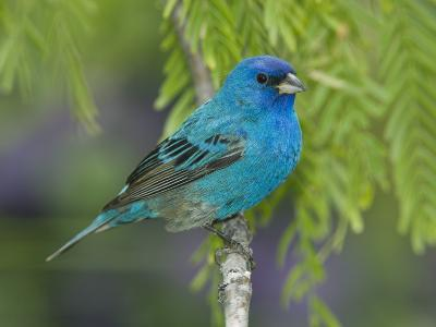 Indigo Bunting (Passerina Cyanea) Male Perched on Branch, Rio Grande Valley, Texas-Tom Vezo/Minden Pictures-Photographic Print