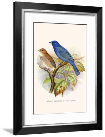 Indigo Bunting-F.w. Frohawk-Framed Art Print
