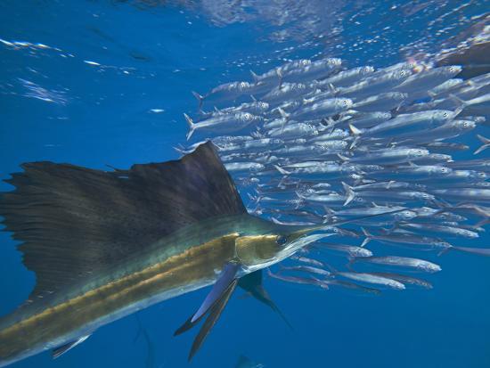 Indo-Pacific Sailfish and schooling sardines, Isla Mujeres, Mexico.-Tim Fitzharris-Photographic Print