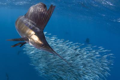 Indo Pacific Sailfish (Istiophorus Platypterus) Feeding On Sardines, Isla Mujeres, Mexico-Chris & Monique Fallows-Photographic Print