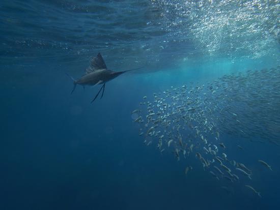 Indo-Pacific Sailfish watching sardines, Isla Mujeres, Mexico.-Tim Fitzharris-Photographic Print