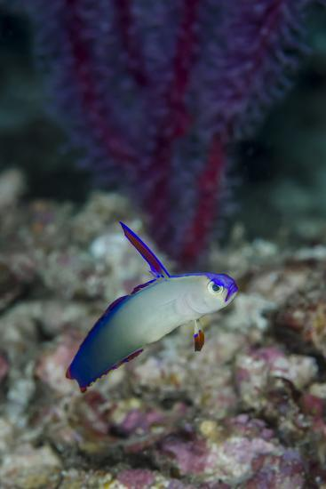 Indonesia, Alor Island, Bacatan Wall. Close-Up of Goby Fish-Jaynes Gallery-Photographic Print