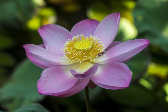 Indonesia Bali Close Up Of Opened Lotus Flower Photographic Print