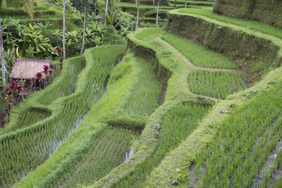 https://imgc.artprintimages.com/img/print/indonesia-bali-terraced-subak-rice-paddies-of-bali-island_u-l-pyqgno0.jpg?p=0