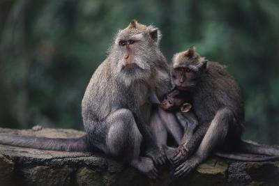 Indonesia, Bali, Ubud, Long Tailed Macaque in Monkey Forest Sanctuary-Paul Souders-Photographic Print
