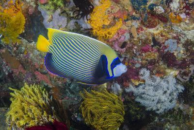 Indonesia, Bima Bay. Angelfish and Coral-Jaynes Gallery-Photographic Print