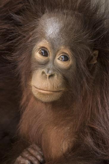 Indonesia, Borneo, Kalimantan. Baby orangutan at Tanjung Puting National Park.-Jaynes Gallery-Photographic Print