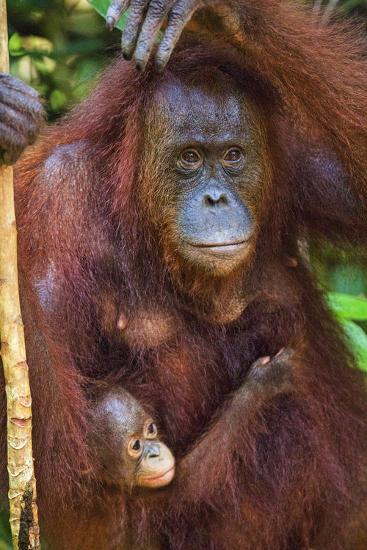 Indonesia, Central Kalimatan, Tanjung Puting National Park. a Mother and Baby Bornean Orangutan.-Nigel Pavitt-Photographic Print