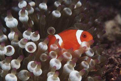 Indonesia, Komodo Island, View of Spinecheek Anemonefish-Stuart Westmorland-Photographic Print