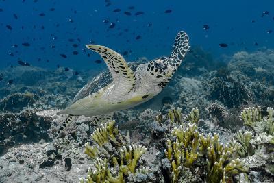 Indonesia, Komodo National Park, Tatawa Besar. Close-Up of Hawksbill Sea Turtle-Jaynes Gallery-Photographic Print