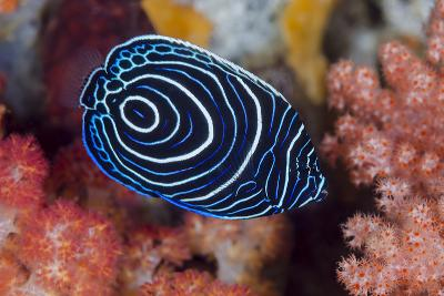 Indonesia, West Papua, Raja Ampat. Close-up of emperor angelfish.-Jaynes Gallery-Photographic Print