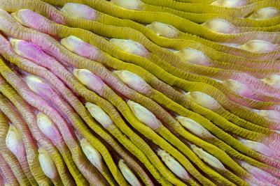 Indonesia, West Papua, Raja Ampat. Close-Up of Hard Coral-Jaynes Gallery-Photographic Print