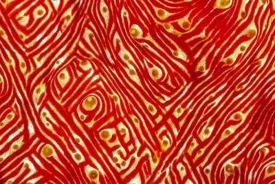Indonesia, West Papua, Raja Ampat. Close-Up of Sea Cucumber-Jaynes Gallery-Photographic Print