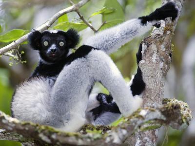 Indri Lemur Sitting on a Tree, Andasibe-Mantadia National Park, Madagascar--Photographic Print