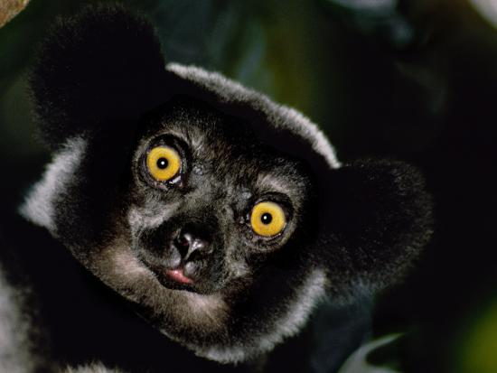 Indri Male, Madagascar-Frans Lanting-Photographic Print