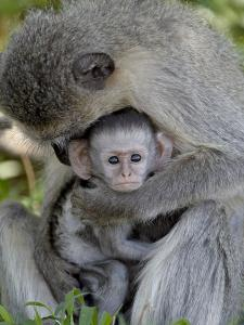 Infant Vervet Monkey (Chlorocebus Aethiops), Kruger National Park, South Africa, Africa