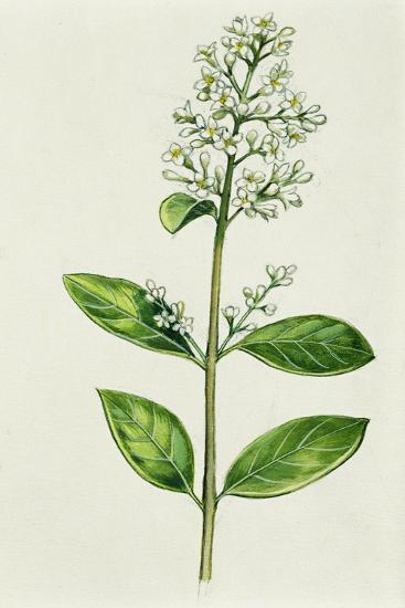 Inflorescence Corncob--Giclee Print