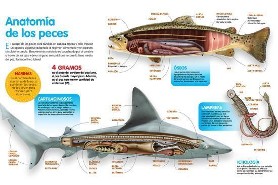 Infografía Donde Se Presenta La Anatomía Los Peces Óseos, Los Peces Cartilaginosos Y Las Lampreas--Poster