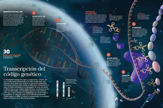 Infografía Que Muestra El Proceso De Transcripción Del Adn Del Núcleo Celular a Las Organelas--Poster