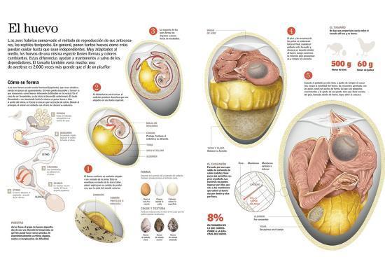 Infografía Sobre El Proceso De Formación Del Huevo En Las Aves, Su Composición, Tamaño Y Forma--Poster