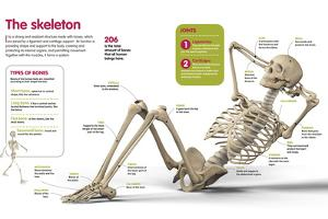 Infographic About the Human Skeleton, the Main Bones That Form It, and their Classification