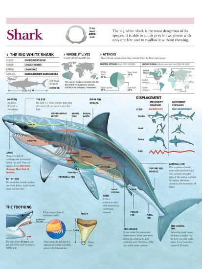 Infographic of Habitat, Anatomy, Teeth and Movement of the White Shark and Attack Data on Humans--Poster