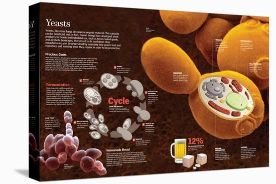 Infographic of the Composition and Reproduction Process of the Yeast--Stretched Canvas Print