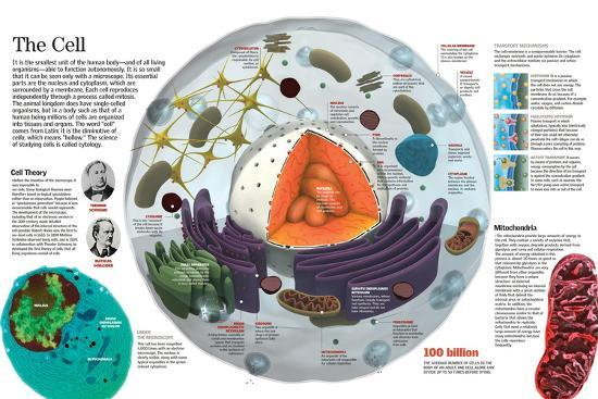 Infographic of the Composition of the Human Cell and the Principal Cell Theories--Poster
