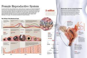 Infographic of the Female Reproductive System and the Menstrual Cycle