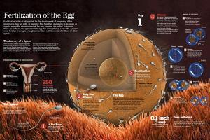 Infographic of the Fertilization of the Ovum,The Formation of the Zygote and the Process of Mitosis