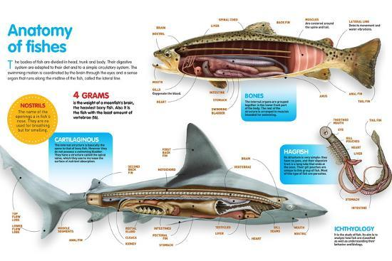 Infographic That Presents the Anatomy of Bony Fish, Cartilaginous Fish and Lampreys--Poster