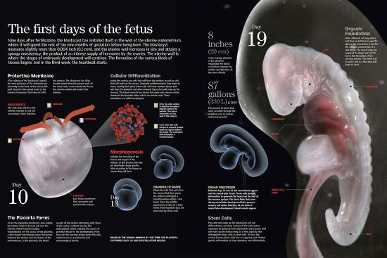 Infographic Which Describe the First Days in the Development of the Fetus in the Mother's Uterus--Poster