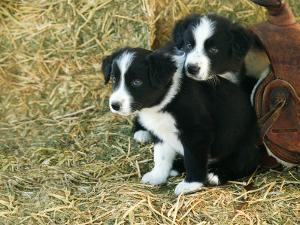 Border Collie Puppies by Inga Spence
